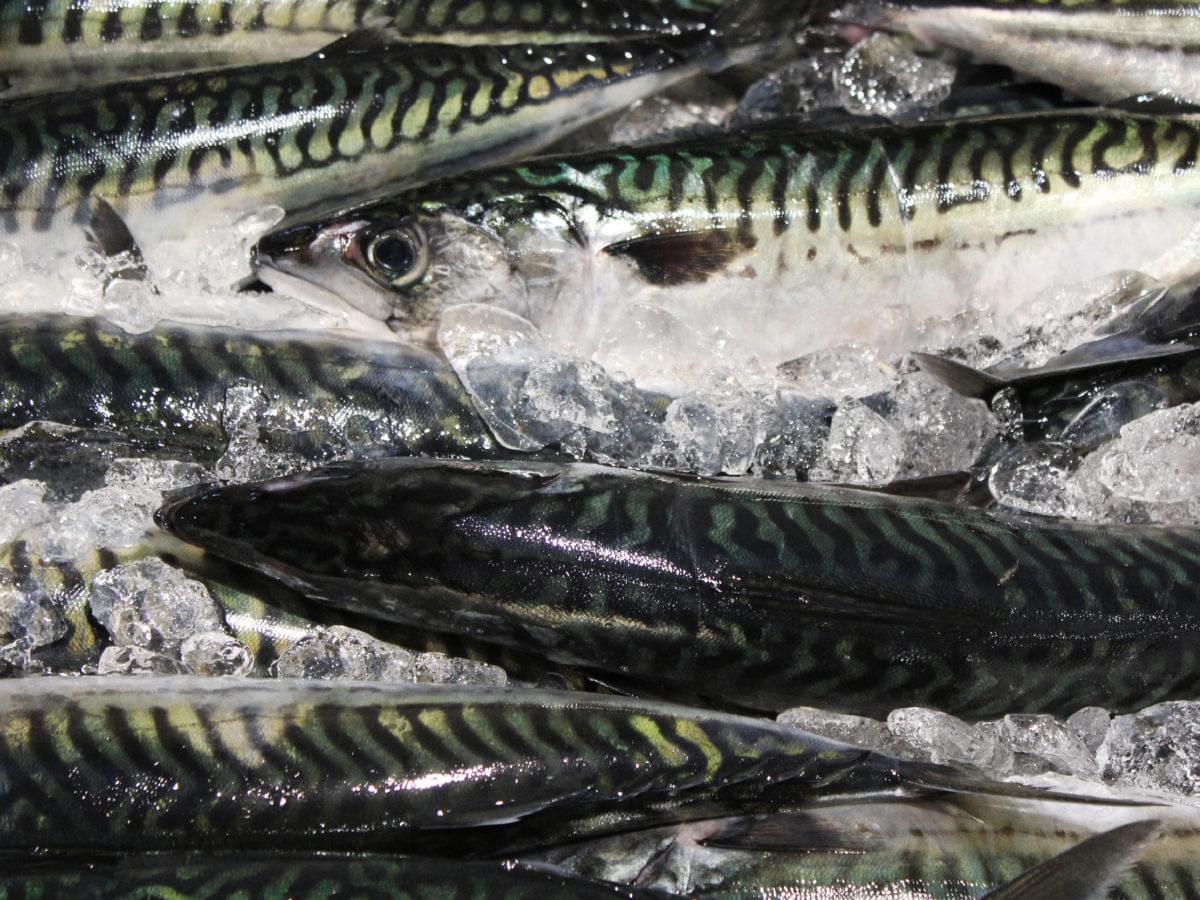 Mackerells